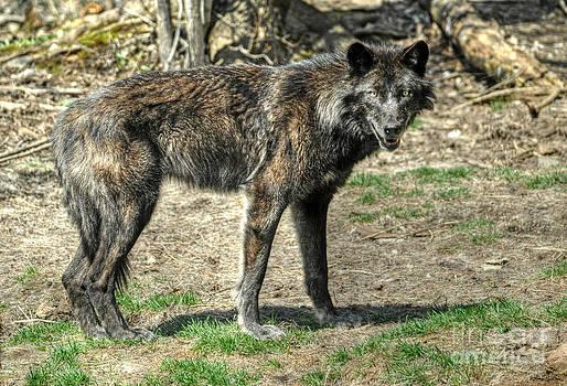 Wolf Child by Skye Ryan-Evans