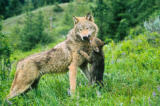 Wolf Cub and Mother by Judi Baker