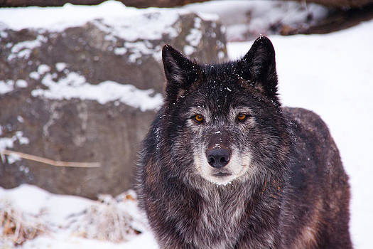 Wolf in the Snow by Angela Boyko