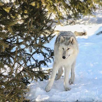 Wolf in winter by Miro Vrlik