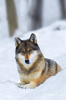 Dan Friend - Wolf laying in snow......paintography