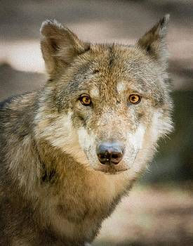 Wolf Looking At You by Bjoern Kindler