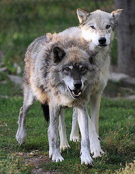 Wolf Pair by Lee Raine