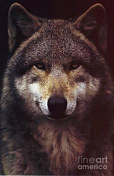 Diane Kurtz - Wolf Portrait