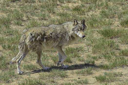 Wolf by Tom Wilbert