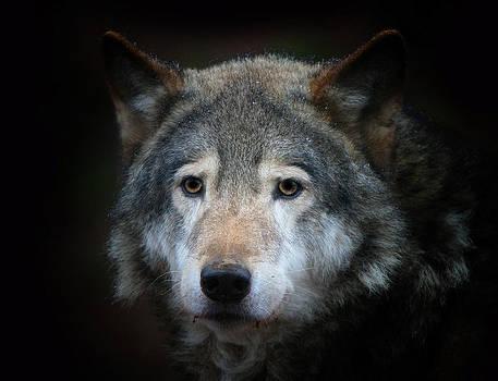 Vladimir Meshkov - Wolf