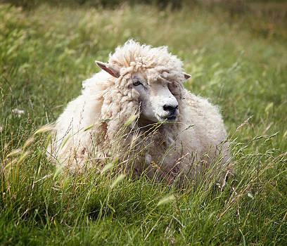 Wolly Sheep by Gillian Dernie