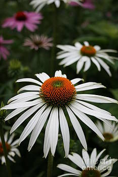 Wonderful White Cone Flower by Kathy DesJardins