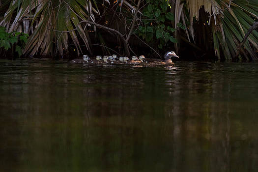 Paul Rebmann - Wood Duck and Ducklings