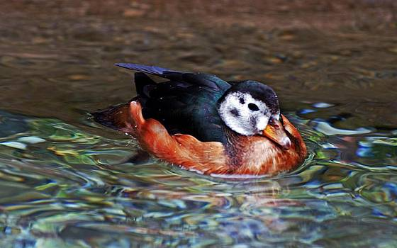 Wood Duck by Cheryl Cencich