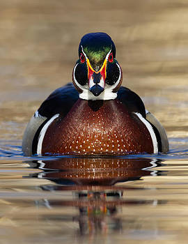 Wood Duck by Christopher Ciccone