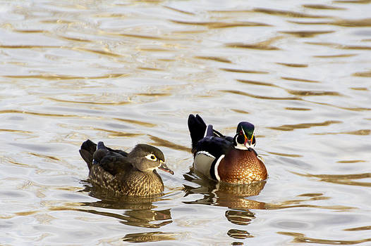Wood Duck Pair by Dana Moyer