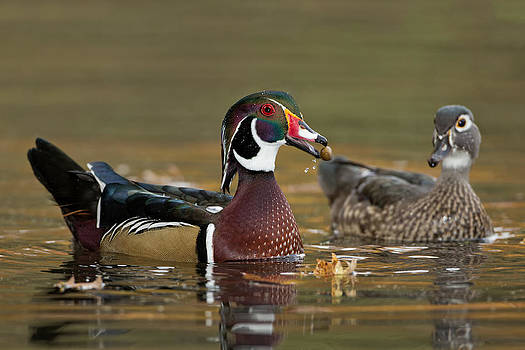 Wood Ducks by Christopher Ciccone