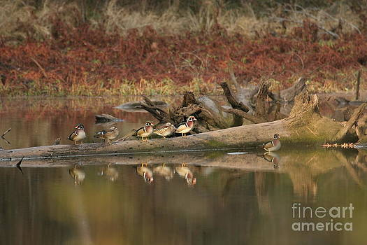 Wood Ducks On Log by Russell Christie