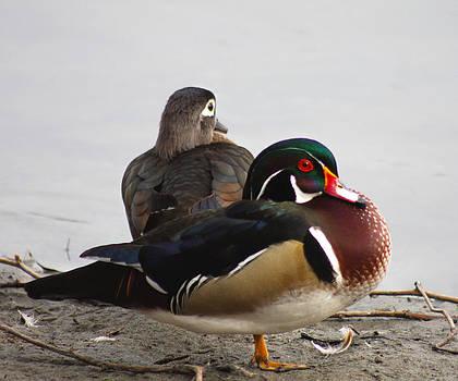 Wood Ducks Resting by Bob and Jan Shriner