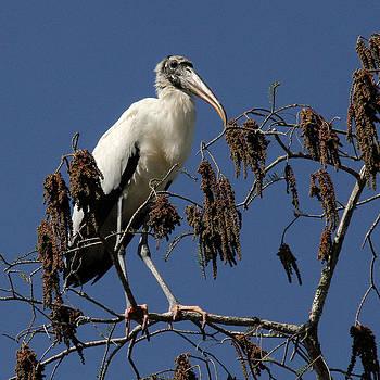 Doris Potter - Wood Stork