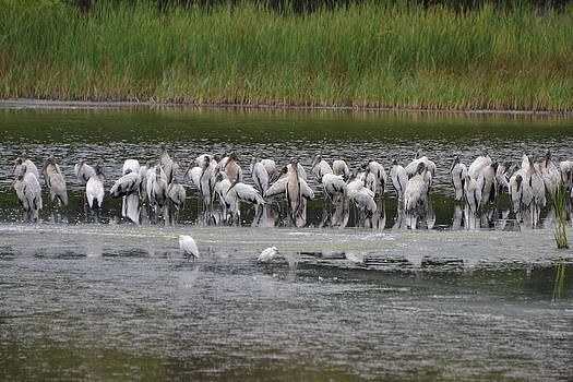 Wood Stork Gathering by Jennifer Zirpoli