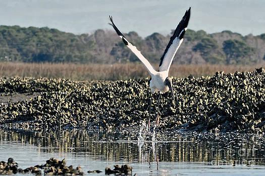 Dan Friend - Wood Stork landing
