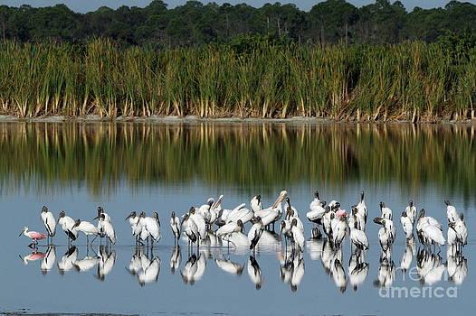 Wood Stork Reflection by Jennifer Zelik