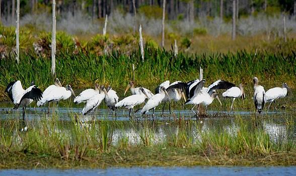 Patricia Twardzik - Wood Storks all in a Row
