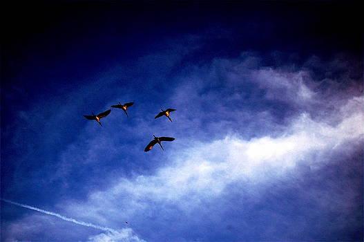 Wood Storks Westward by Don Bangert