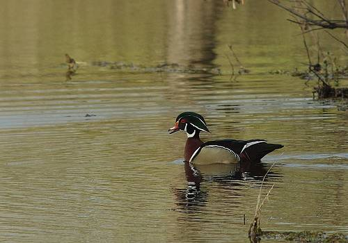 Billy  Griffis Jr - Woodduck