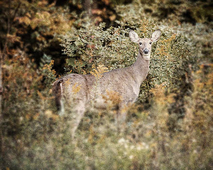 Lisa Russo - Woodland Deer