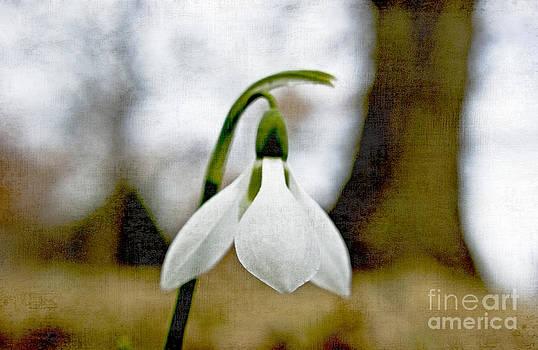 Woodland Snowdrop by Valerie Fuqua