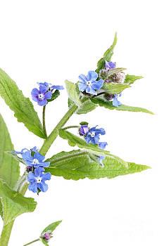 Jo Ann Snover - Woodland spring flowers