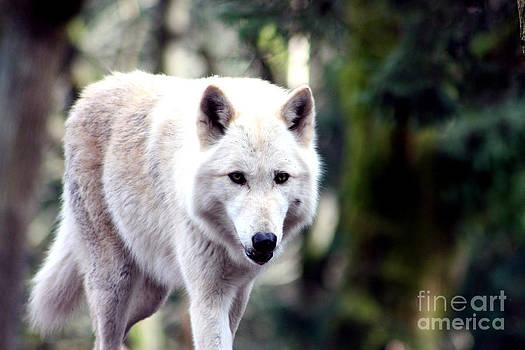 Nick Gustafson - Woodland White Wolf 2