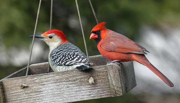 Woodpecker and Cardinal by John Kunze