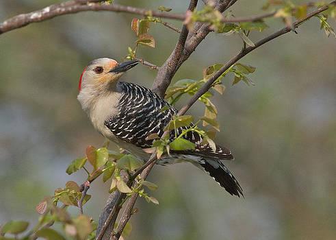 Woodpecker Blush by Diane Porter