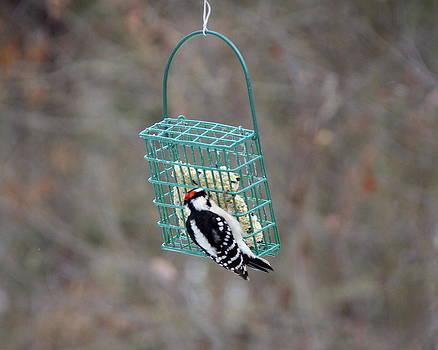 Woodpecker by Dick Willis