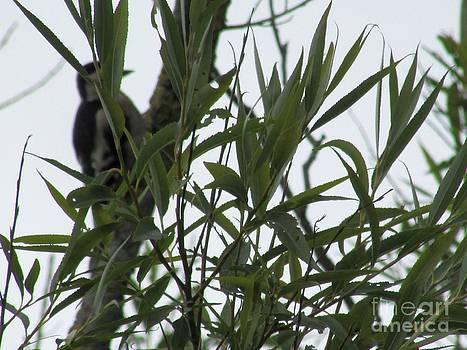 woodpecker Hiding by Sylvia Howarth