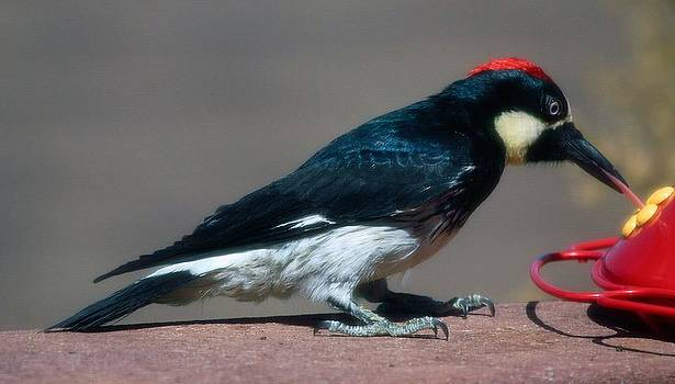 Woodpecker by Judith Szantyr