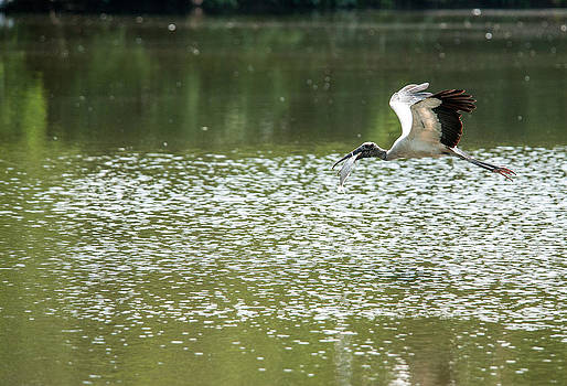 Woodstork with fish by Bill LITTELL
