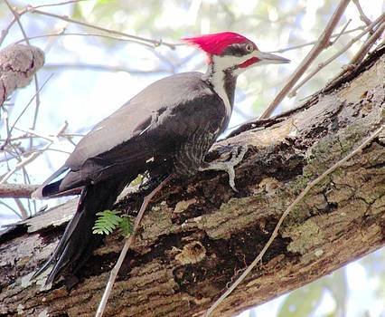 Woody Woodpecker by Will Boutin Photos
