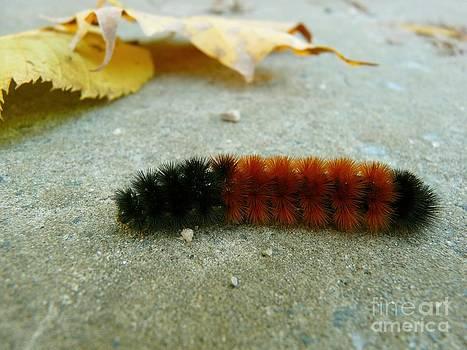 Christine Stack - Wooley Bear Caterpillar