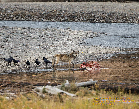 World Famous Yellowstone Gray Wolf 06' by Mark Steven Perry