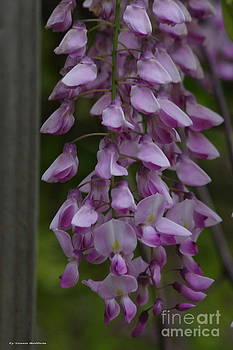 Wysteria Blooms by Tannis  Baldwin