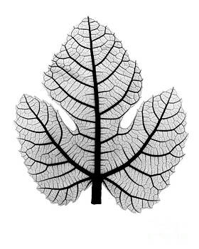 Bert Myers - X-ray Of Fig Leaf