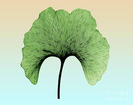 Bert Myers - X-ray Of Ginkgo Leaf
