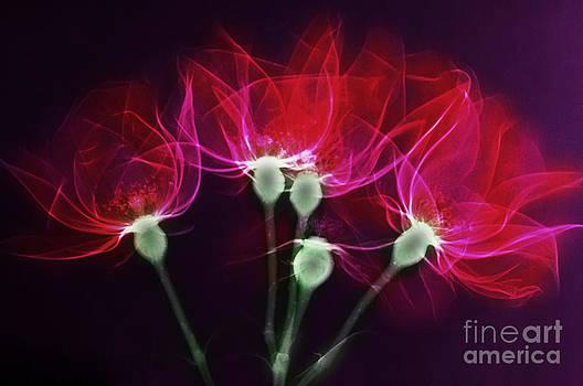 Scott Camazine - X-ray Of Roses
