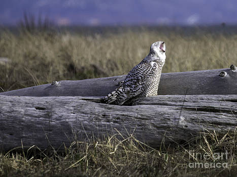 Tim Moore - Yawn of the Owl