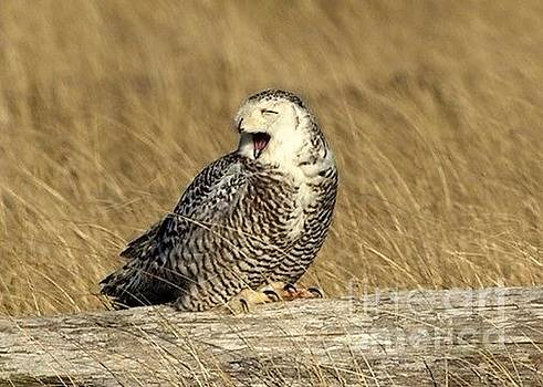 Yawning owl by Terry Horstman