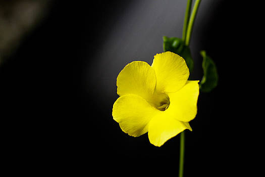 Yellow Allamanda by Donald Chen