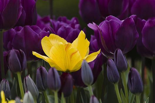 Yellow an Purple Tulips by Chad Davis
