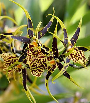 Yellow and Brown Orchid by Bonita Hensley