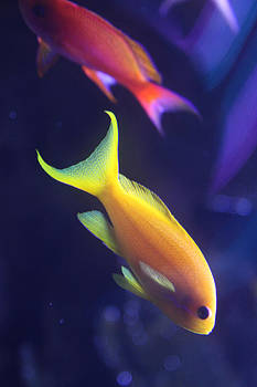 Yellow and Pink Fish by Donna Corless