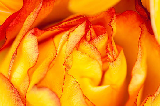 Yellow And Red Rose by Mark Weaver